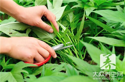 山芋的生长过程简笔画-红薯叶的做法是什么
