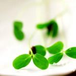 冬日餐桌上春的气息:香椿苗两吃