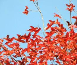冬日元朗大榄郊野赏红叶&寻味隐匿香港村野超人气茶餐厅