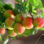 乡居流水帐:小院的果树