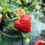 草莓的N种做法