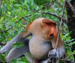 【山打根】婆罗洲金枪不倒的长鼻猴