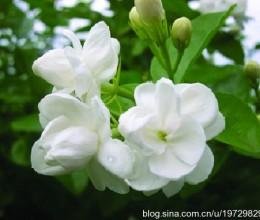 香味馥郁口感细腻的茉莉花豆浆