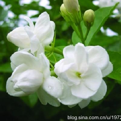 香味馥郁口感細膩的茉莉花豆漿