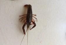 小龙虾去虾线