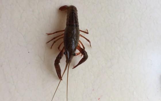 小龍蝦去蝦線