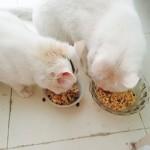 猫咪营养饭
