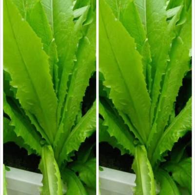 徐州蒸菜---蒸油麦菜